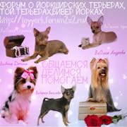 Форум о йорках и той терьерах!  http://toyyork.forum2x2.ru/ group on My World